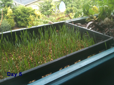 Day_5_wheatgrass