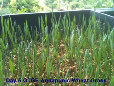 Day_5_wheatgrass_