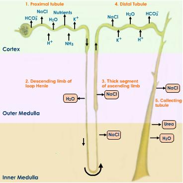 Urine-formation